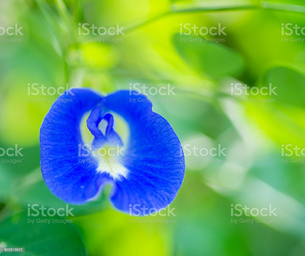 blue  butterfly Pea Flower stock photo
