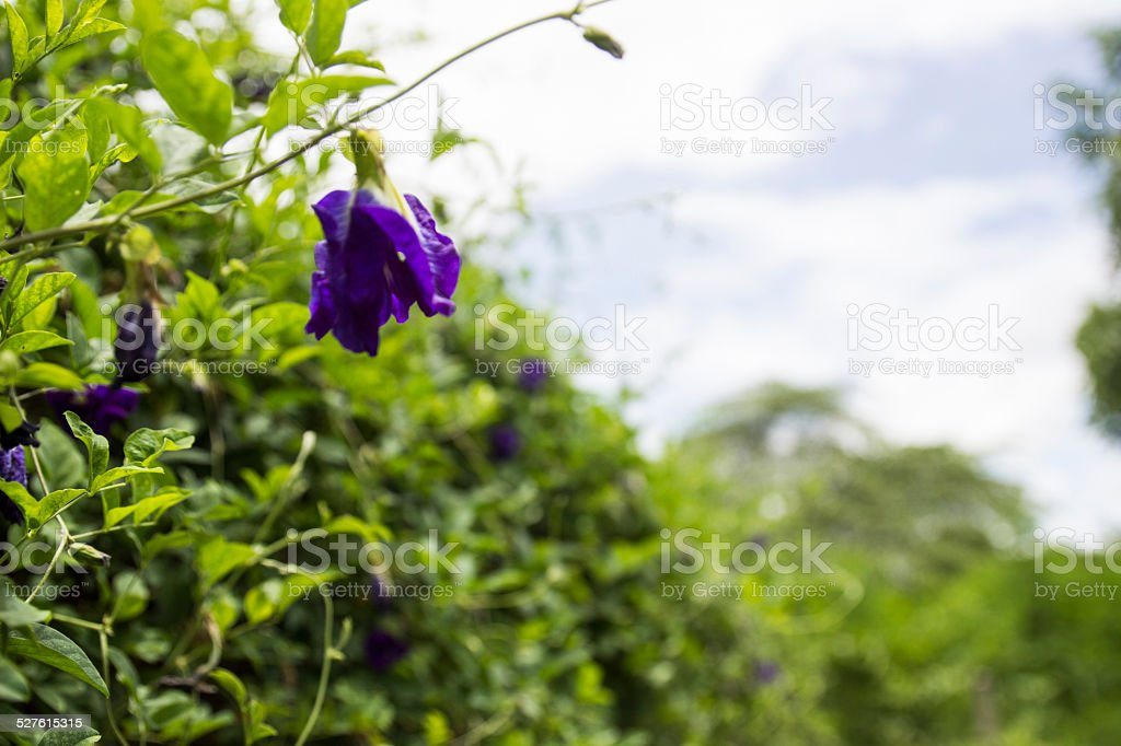 blue butterfly pea stock photo