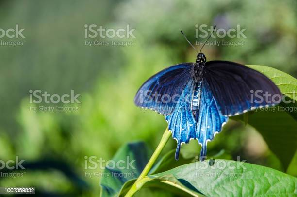 Blue butterfly picture id1002359832?b=1&k=6&m=1002359832&s=612x612&h=wekfrx99wgdkhjiqf l5nunthnrv3g0ah0xz6jvycu8=