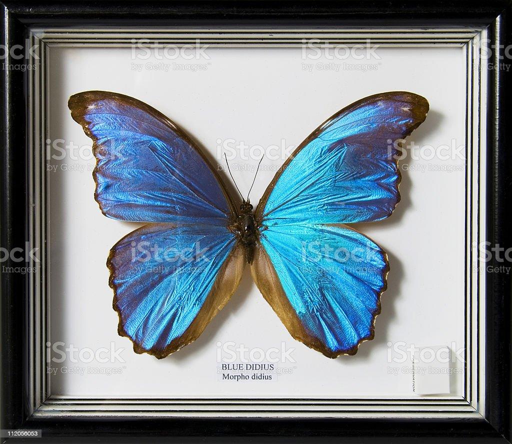 Blue Schmetterling Stock-Fotografie und mehr Bilder von Bilderrahmen ...
