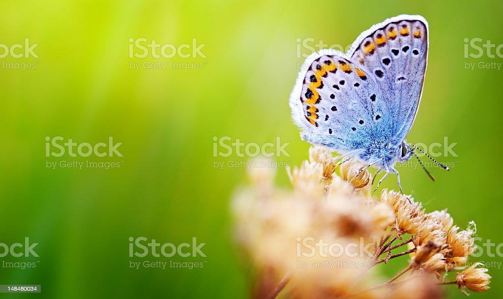 Mariposa azul - foto de stock