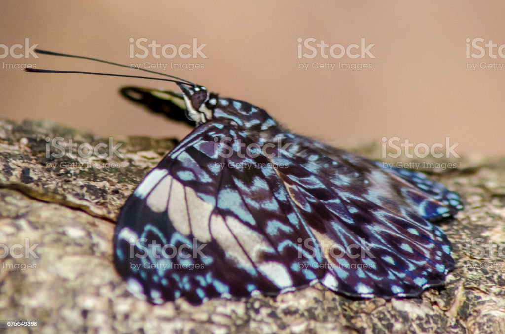Borboleta azul royalty-free stock photo