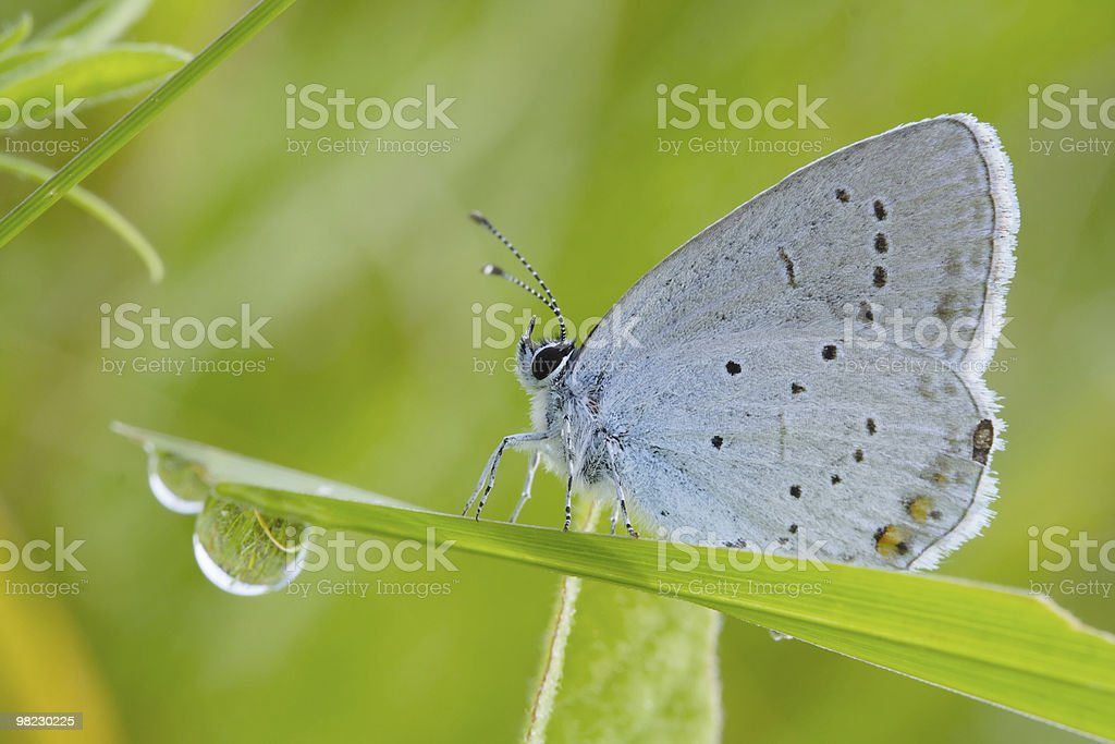 Farfalla blu foto stock royalty-free