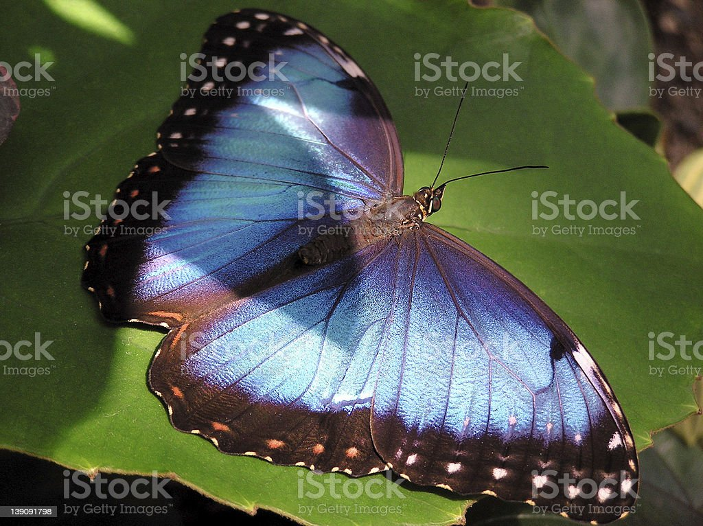 Blue Butterfly resting on a Leaf royalty-free stock photo