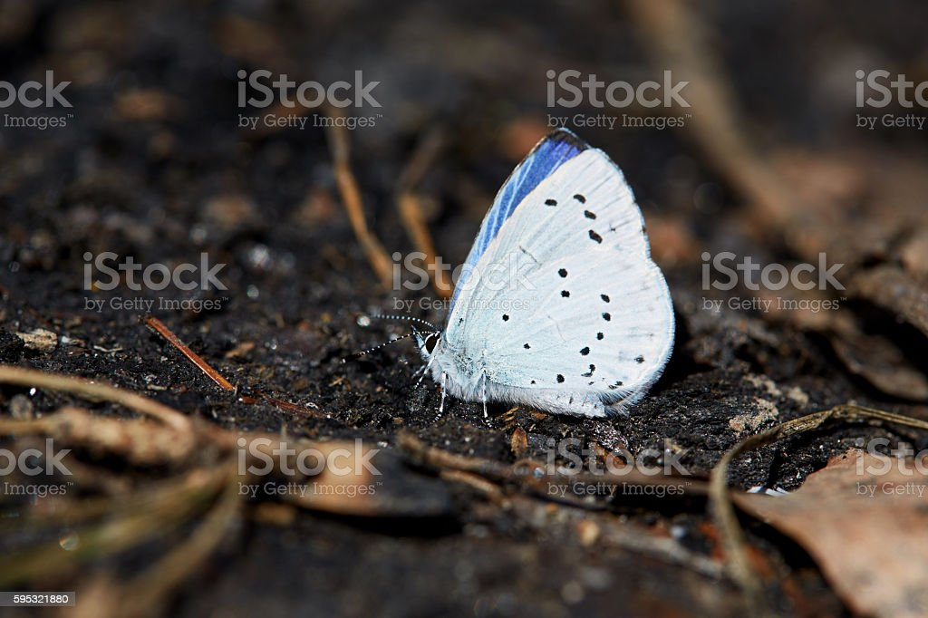 Blue butterfly sitting on a black charcoal in the forest stock photo