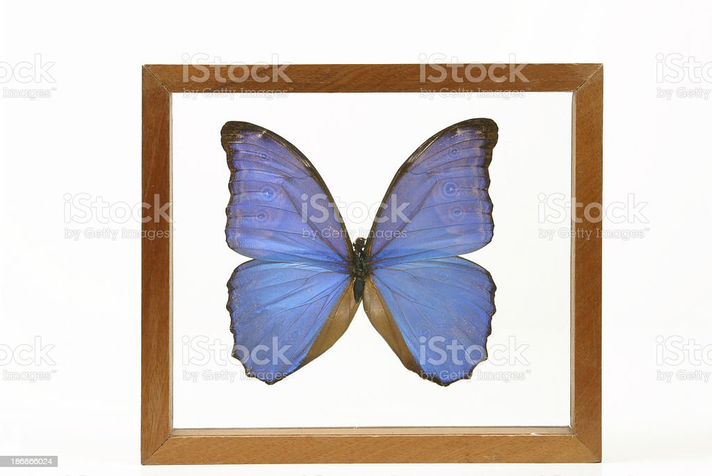 Blue Butterfly Under Glass royalty-free stock photo
