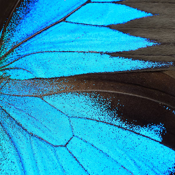 Blue butterfly wing picture id476880484?b=1&k=6&m=476880484&s=612x612&w=0&h=lrv bqabqzrk0fuj2niyk3nowj0xqed9gyfro3spxx4=
