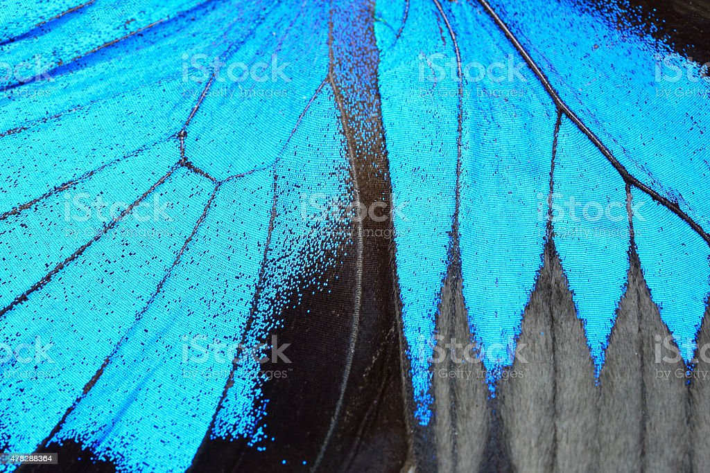 Blue butterfly wing stock photo