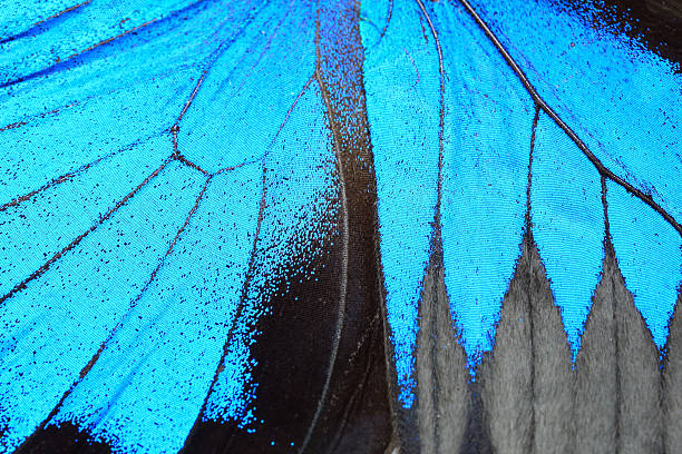 blue butterfly wing - animal wing stock photos and pictures