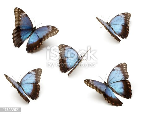 The Blue Morpho Butterfly's (Morpho peleides) isolated on white background (clipping path included for each Butterflies)