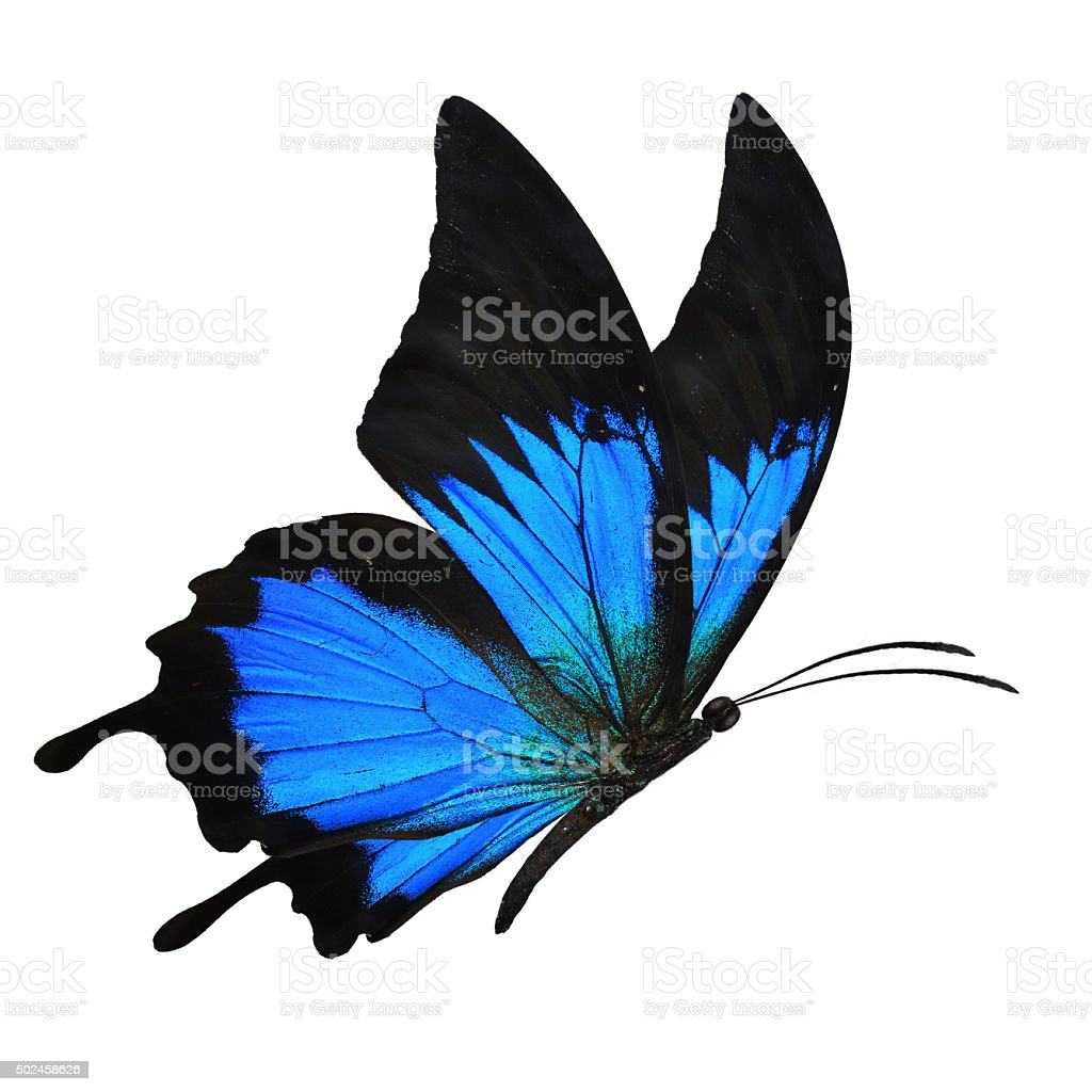 blue butterfy flying stock photo