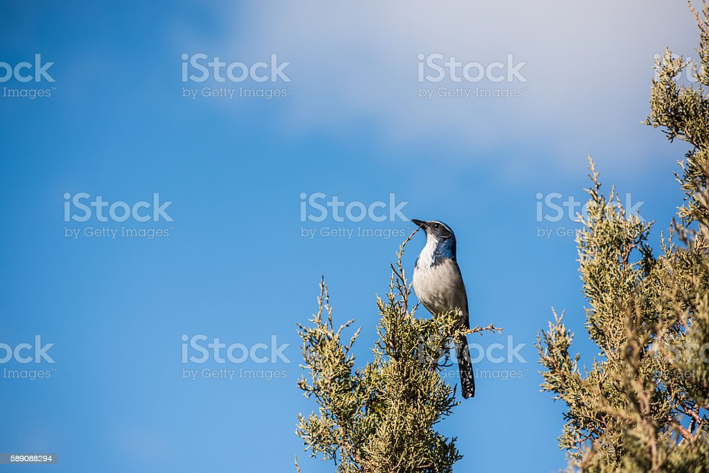 Blue California western scrub jay bird with white belly stock photo