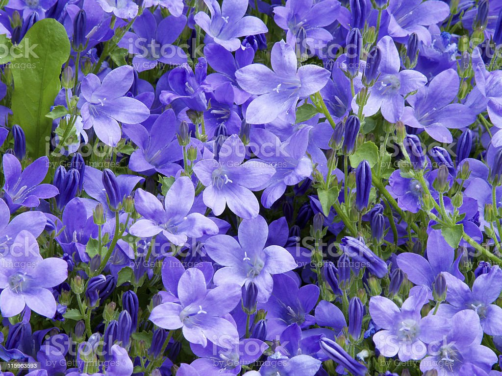 Blue Campanula Flower Bed royalty-free stock photo