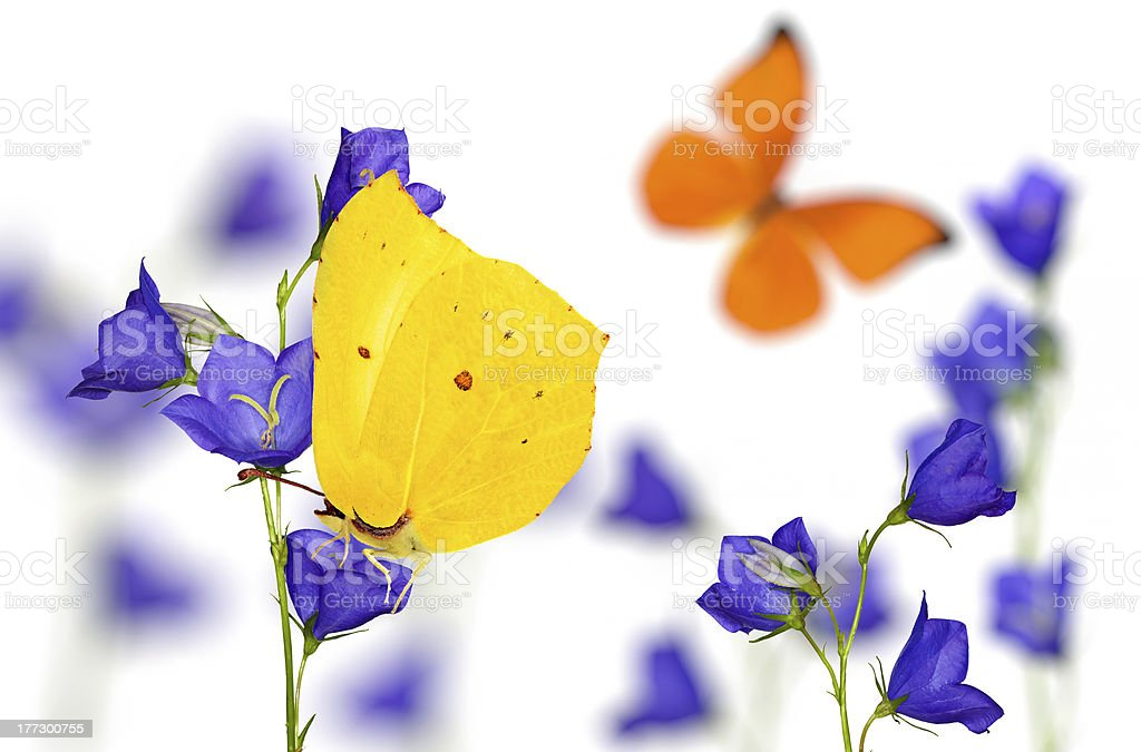 blue campanula flowers and bright butterflies royalty-free stock photo