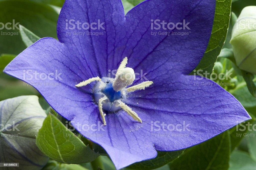 Blue campanula royalty-free stock photo