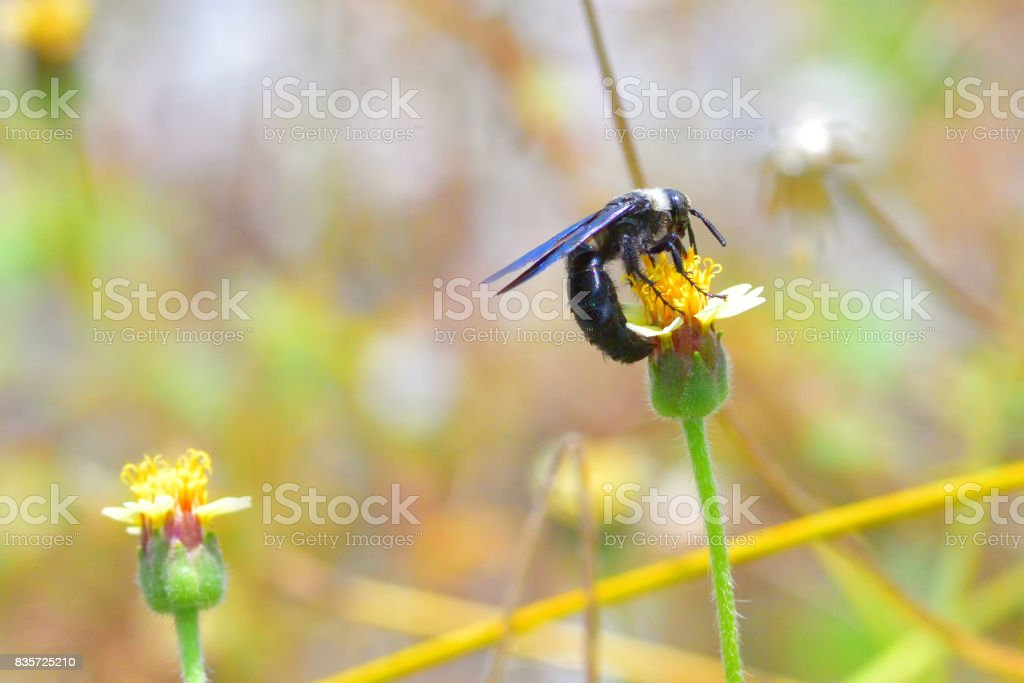 Blue Carpenter bee perched on the beautiful flower stock photo