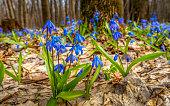 Blue carpet of flowering primroses in the spring forest.