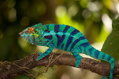 A blue chameleon sitting on a branch