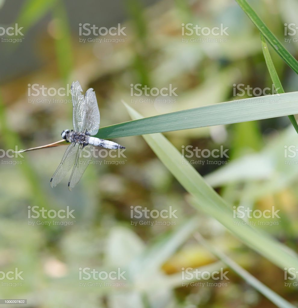 Blauwe Chaser Dragonfly (Libellula fulva) mannelijke vrouwelijke foto