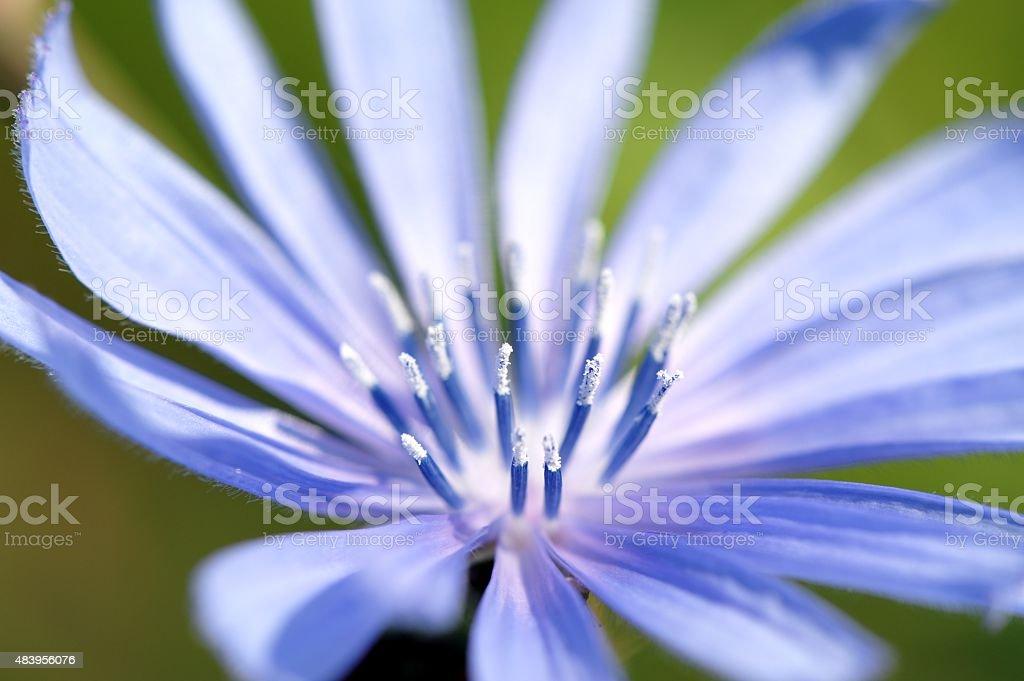 Blue Chicorée Blüte Nahaufnahme Stockfoto Und Mehr Bilder Von 2015