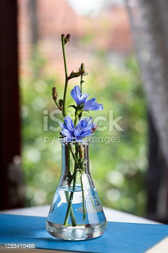 Blue Chicory flowers in a vase by the window for home decoration