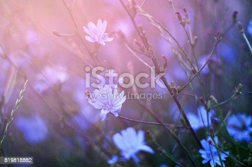 Blue chicory background
