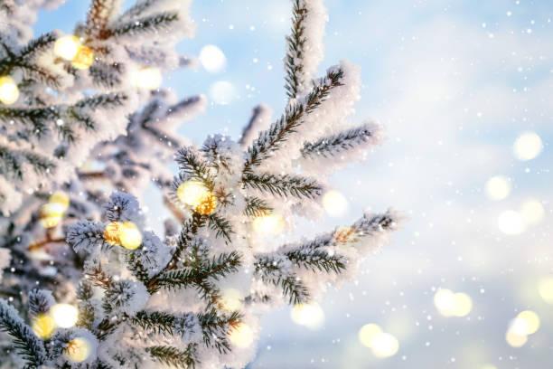 blue christmas vintern bakgrund. naturliga barrträd grenar i rimfrosten med ljus och snö - snötäckt bildbanksfoton och bilder