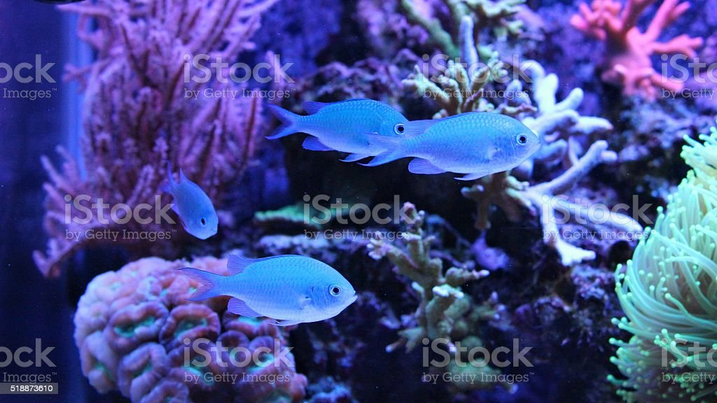 Blue Chromis stock photo