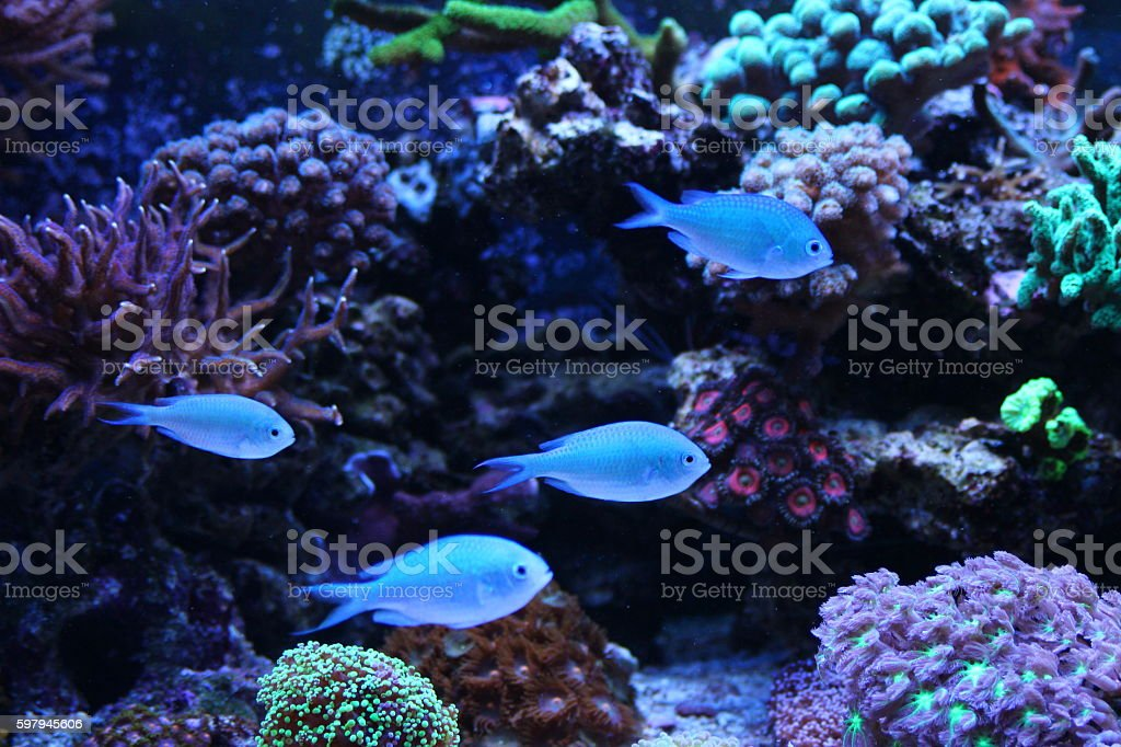 Blue Castanheta foto royalty-free