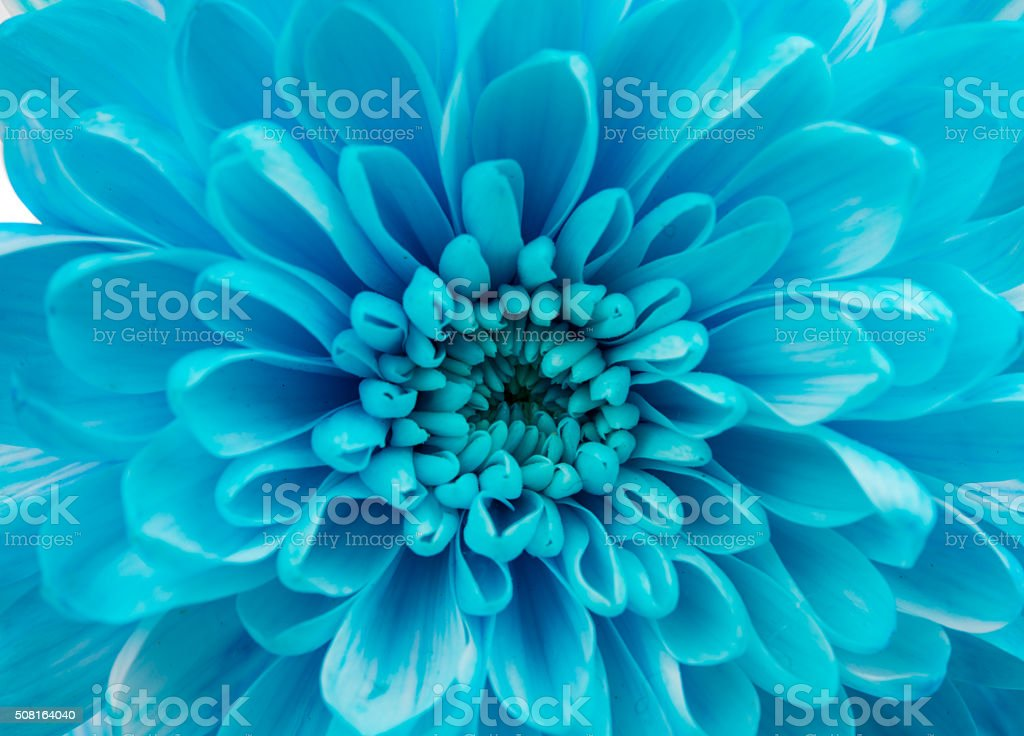 Blue Chrysanthemum Flower Isolated stock photo