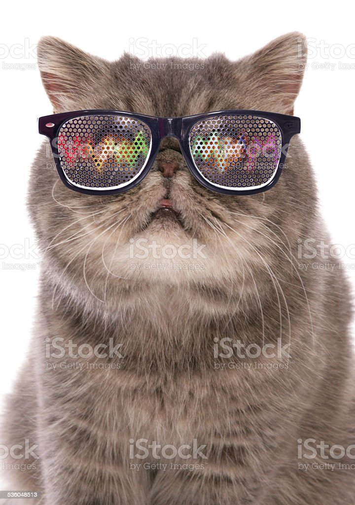 blue classic tabby exotic shorthair with raving glasses stock photo