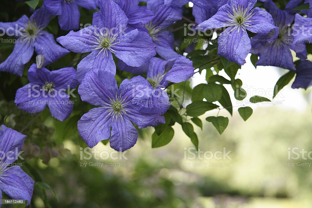 blue clematis royalty-free stock photo