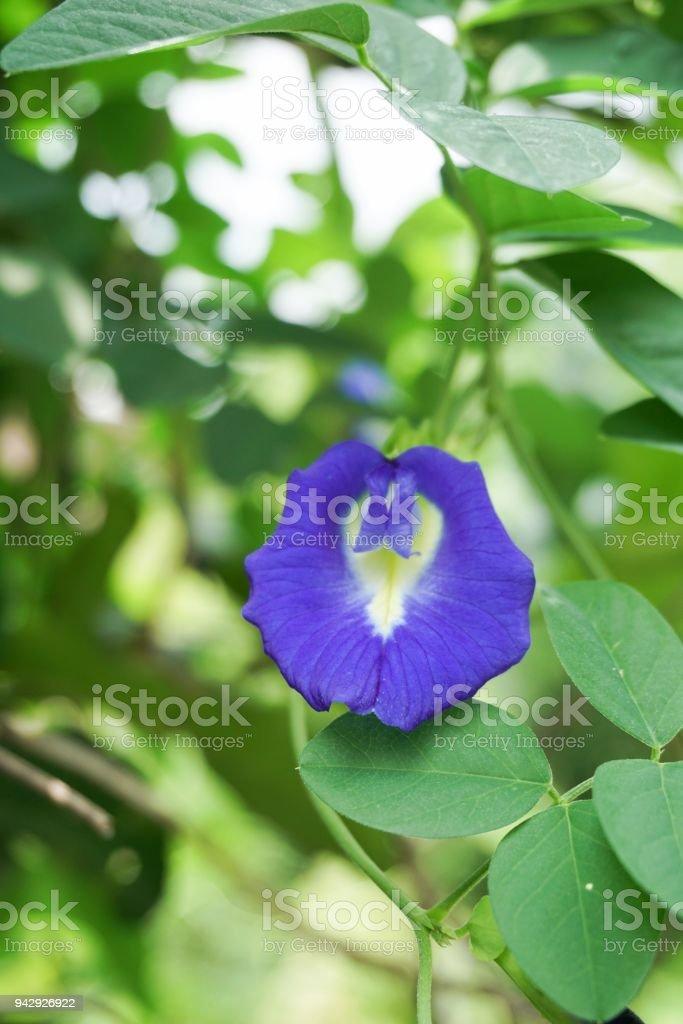 blue Clitoria ternatea flower in nature garden stock photo