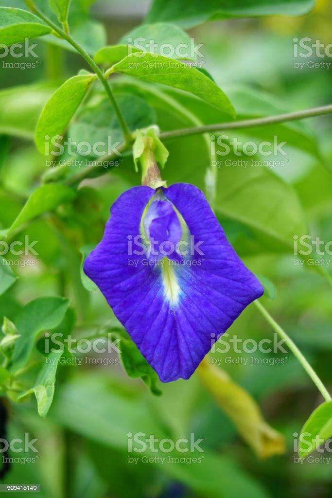 blue Clitoria ternatea flower stock photo