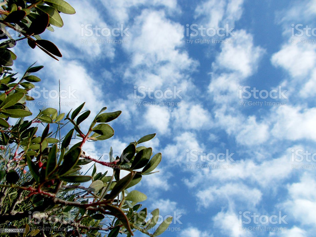 Blue cloudy sky behind lentisks stock photo