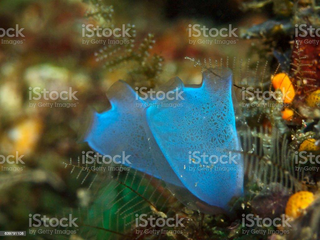 Blue Club Tunicate, Keulenseescheide (Rhopalaea crassa) stock photo