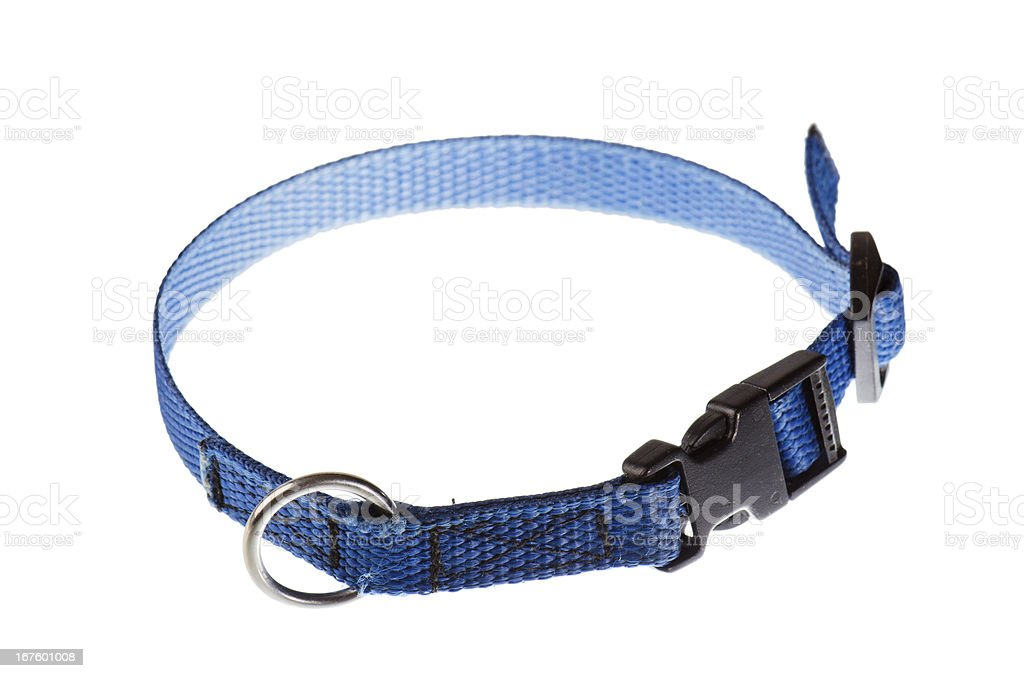 blue collar for a small dog stock photo