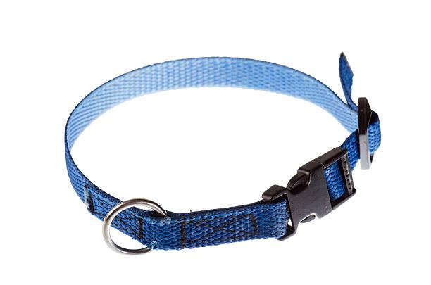 blauen kragen für einen kleinen hund - halsband stock-fotos und bilder