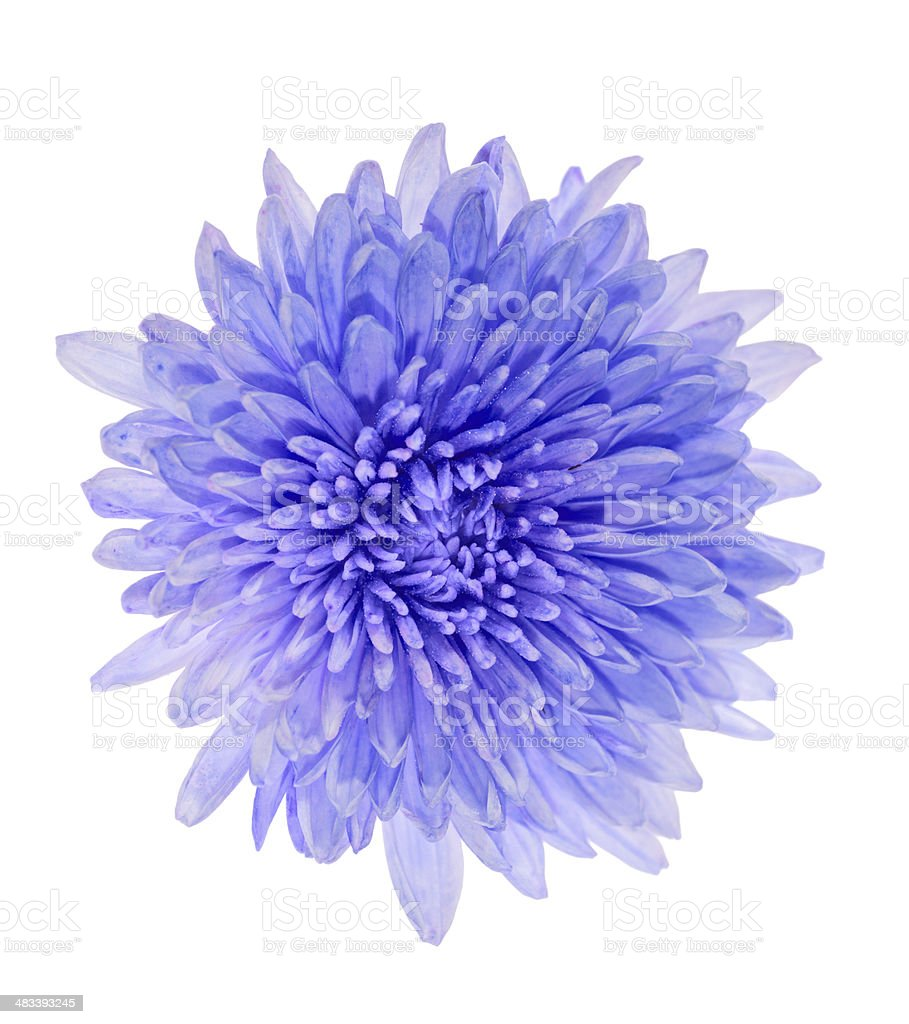 blue color aster isolated on white stock photo