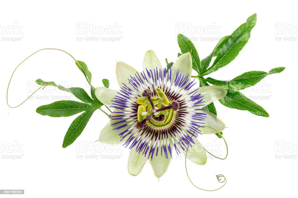 blue colored passion flower isolated on white stock photo