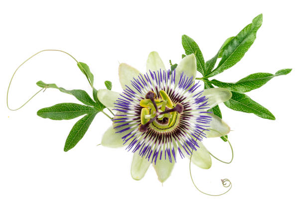 blue colored passion flower isolated on white - passiflora foto e immagini stock