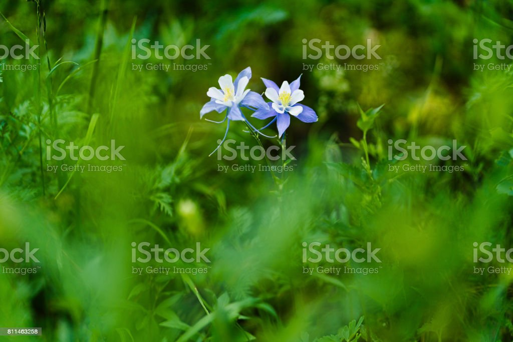 Blue Columbine Wildflowers stock photo