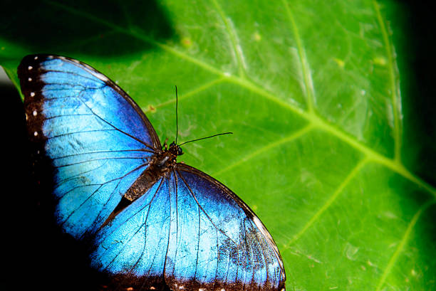 blue Common Morpho butterfly stock photo