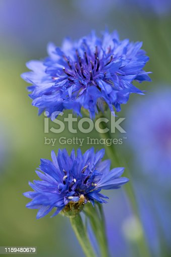 Blue Coneflower