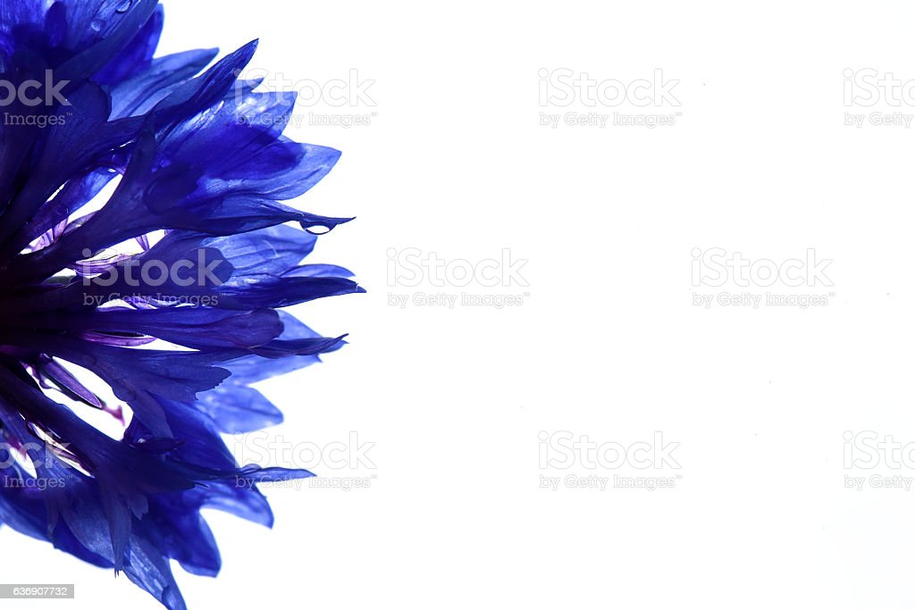 Blue Corn Flowers (Centaurea cyanus) - Photo