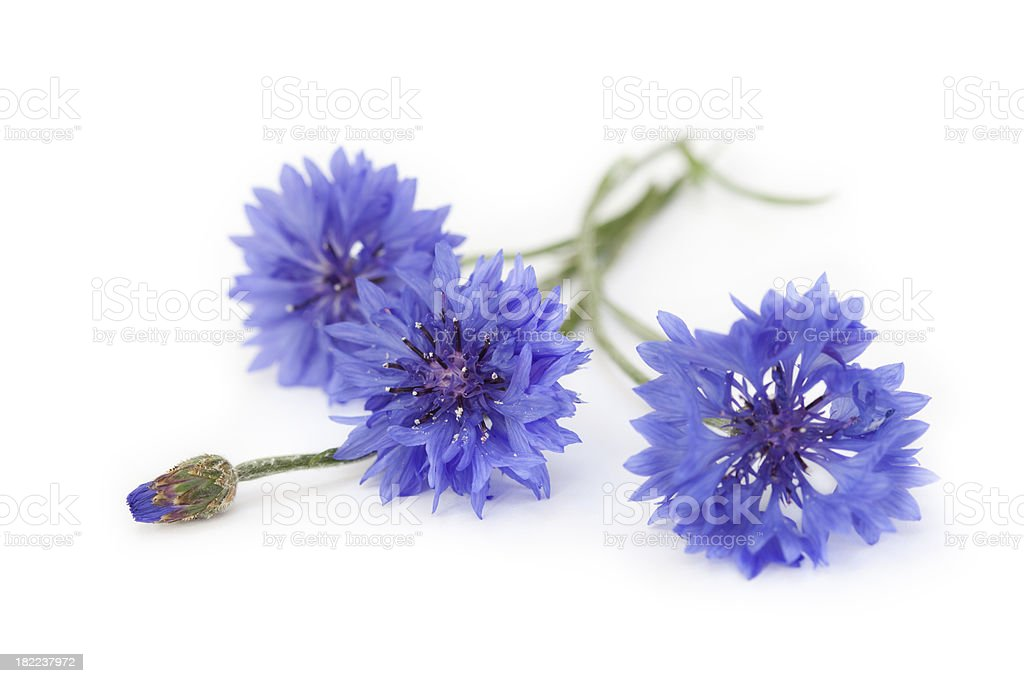 Blue Cornflower Bouquet, Wildflowers royalty-free stock photo