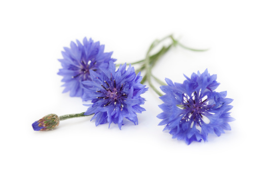Macro of a bunch of cornflowers and bud.