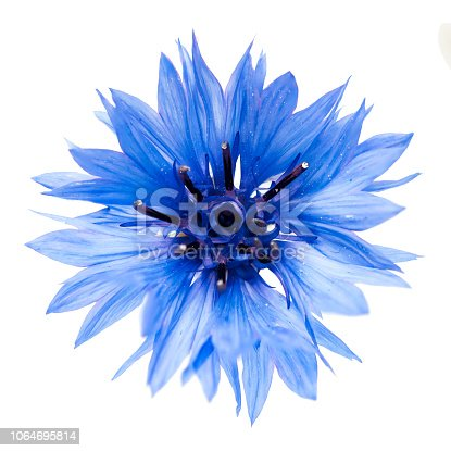 Blue cornflower cut out, isolated on a white background, photographed in natural light, selective depth of field