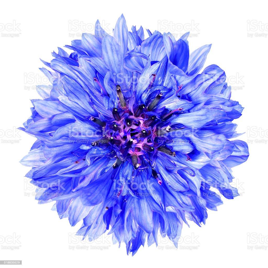 Blue Cornflower Flower Isolated on White Background stock photo