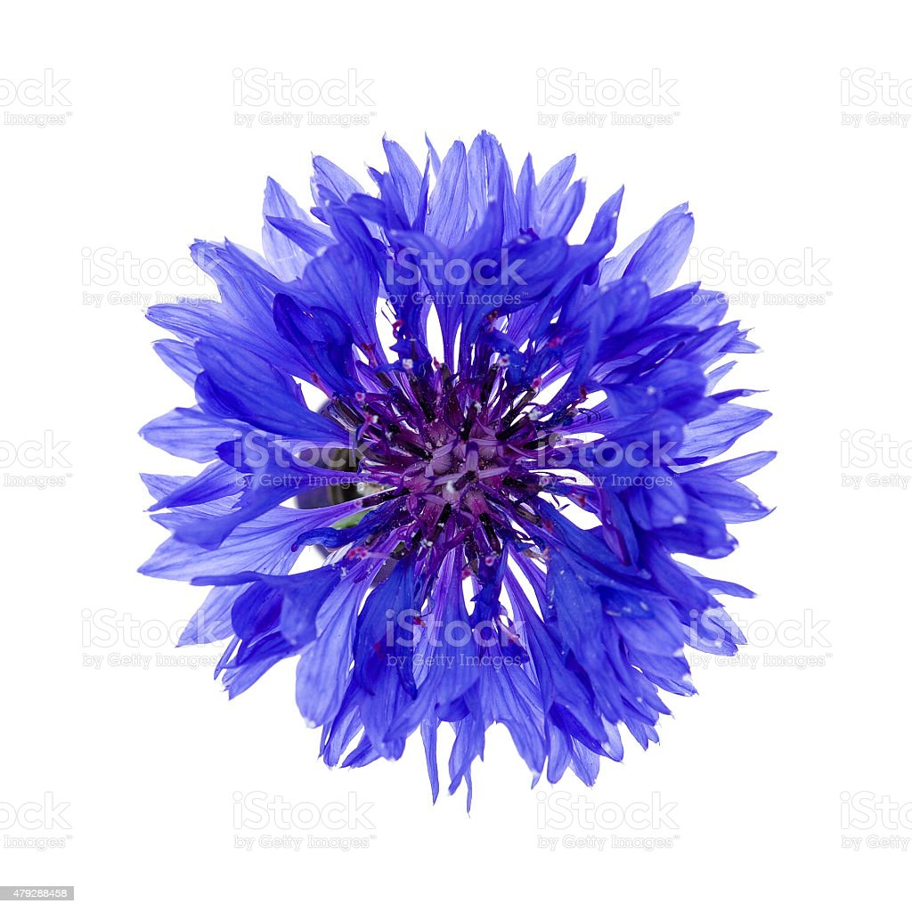 Blue cornflower flower stock photo